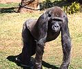 Lowland Gorilla (3336248861).jpg
