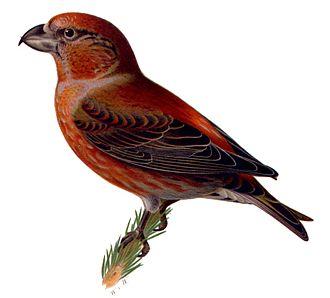 1828 in birding and ornithology - Illustration of Loxia pytyopsittacus in Svenska Foglar