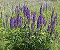 Lupinus polyphyllus UA 2015 G4.jpg