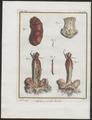 Lutra vulgaris - geslachtsorganen - 1700-1880 - Print - Iconographia Zoologica - Special Collections University of Amsterdam - UBA01 IZ22500055.tif