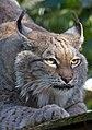 Lynx 4a (8150375593).jpg