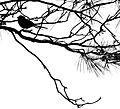 Mésange sur branche de pin.jpg