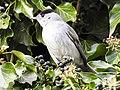 Mönchsgrasmücke (16) (35020047965).jpg