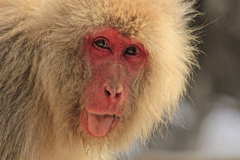 File:Macaca Fuscata, also known as Japanese Snow Monkeys, in Jigokudani, Yudanaka, Japan 01.jpg