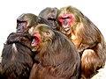 Macaca arctoides (15333039017).jpg