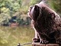 Macaco da espécie Sagui adulto.jpg