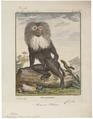 Macacus silenus - 1700-1880 - Print - Iconographia Zoologica - Special Collections University of Amsterdam - UBA01 IZ20000095.tif