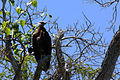 Madagascar fish-eagle haliaeetus vociferoides.jpg