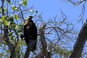 Madagascan fish eagle - Image: Madagascar fish eagle haliaeetus vociferoides