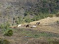 Mafate cattle dsc00644.jpg
