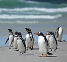 Magellanic and gentoo penguins