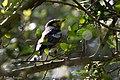 Magnolia Warlber (male) Smith Oaks TX 2018-04-23 15-35-23 (28184493778).jpg