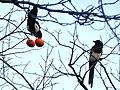 Magpie pair on branch of Japanese persimmon Kono park.jpg