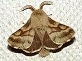 Malacosoma castrense ♂ - Ground lackey (male) - Молочайный коконопряд (самец) (41004264911).jpg