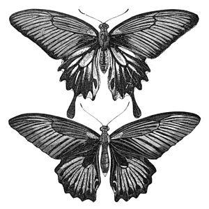 "E. W. Robinson - Females of Papilio memnon"" illustration for The Malay Archipelago"