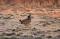 Male Lesser Prairie Chicken, Yoakum County by Trisha Williams (25090378366).jpg