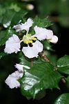 Malpighia-coccigera-flower