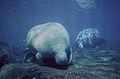 Manatee marine mammals underwater.jpg
