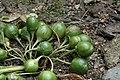 Mandragora officinarum fruits.jpg