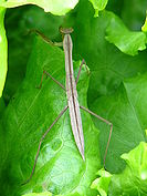 Mantis found on vegetables in Lam Tsuen, Hong Kong (1).jpg