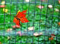 Maple leaf on a fence.jpg