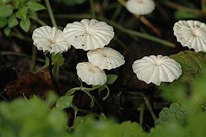 Marasmius - Marasmius rotula