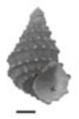 Margarya yangtsunghaiensis shell.png