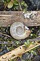 Marsh Ram's-Horn (Planorbella trivolvis) Shell - Kitchener, Ontario.jpg