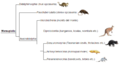Marsupial phylogeny (eng).png