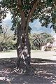 Matapalo o higuerote (Ficus elástica).jpg