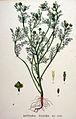 Matricaria discoidea — Flora Batava — Volume v20.jpg