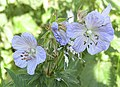 Meadow cranesbill - geograph.org.uk - 1335397.jpg