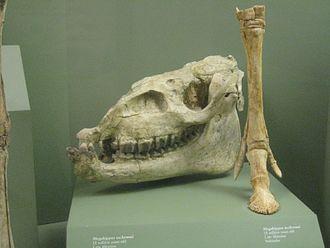 Megahippus - Megahippus mckennai fossils
