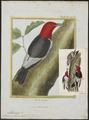 Melanerpes erythrocephalus - 1700-1880 - Print - Iconographia Zoologica - Special Collections University of Amsterdam - UBA01 IZ18700397.tif