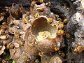 Melipona scutellaris pollenpot.jpg