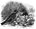 Menniskans härledning och könsurvalet illustration sida II-51.png