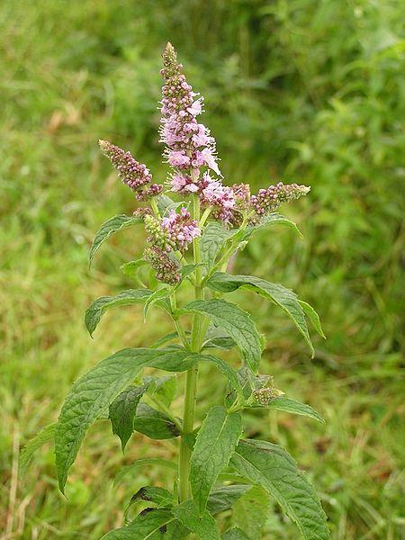 File:Mentha longifolia 2005.08.02 09.53.56.jpg