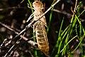 Metamorphosis Of A Locust (233351101).jpeg
