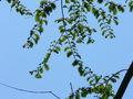 Metasequoia Glyptostroboides3.jpg