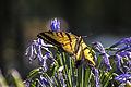 Mexico df - Papilio cresphontes 2.JPG