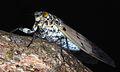 Milky Cicada (Ayuthia spectabile) (8756591367).jpg