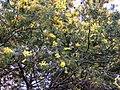 Mimosa scabrella 02.jpg
