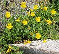 Mimulus tilingii mountain monkeyflower large-clump.jpg