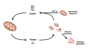 Mitochondrial biogenesis - The processes of fusion and fission allow for mitochondrial reorganization.