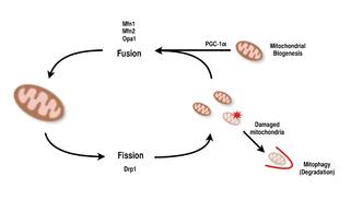 Mitochondrial Biogenesis Wikipedia