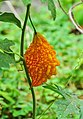 Momordica charantia 26052014.jpg