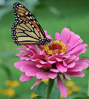 Papillon monarque (Danaus ...