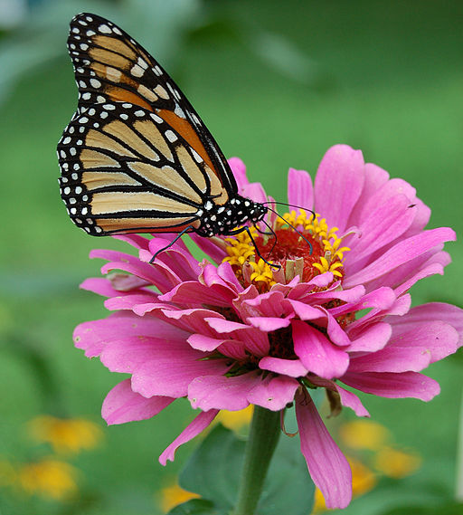 Monarch Butterfly Pink Zinnia 1800px