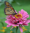 Monarch Butterfly Pink Zinnia 1800px.jpg