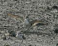 Mongolian Plover (Charadrius mongolus) 2.jpg